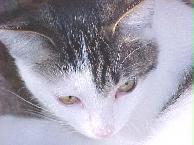 This is Patches... she was April, 2001's www.catlover.com Cat of the Month... we were SO proud!